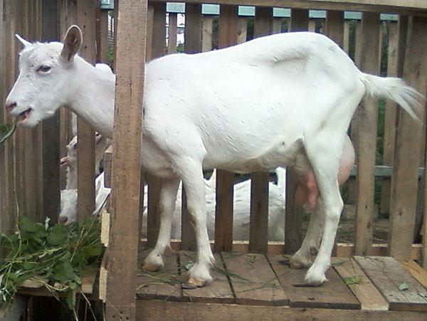 Аппарат для дойки коз